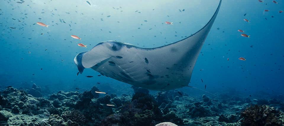 Manta Ray Snorkeling Nusa Penida Island Bali